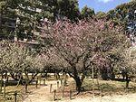 Plum blossoms in Shukkei Garden 1.jpg