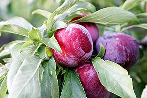 Ripe Plums on a plum tree