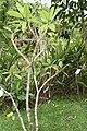 Plumeria rubra 31zz.jpg