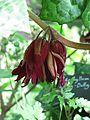 Podophyllum Spotty Dotty (9158230384).jpg