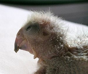 Egg tooth - A Senegal parrot chick at about 2 weeks after hatching. The egg tooth is near the tip of its beak on the upper mandible.