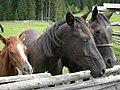 Pokljuka konji.JPG