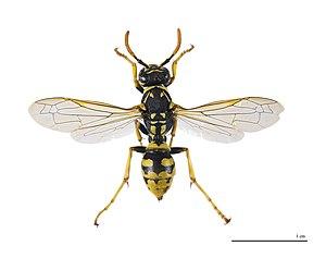 Polistes dominula - P. dominula female