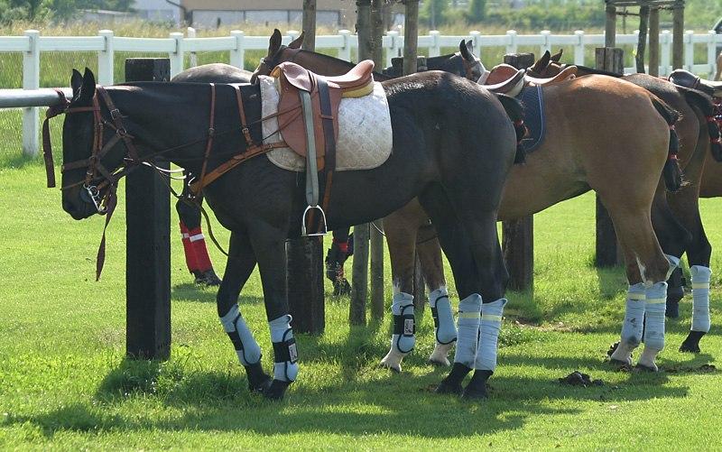 Polo ponies in Switzerland