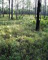 Polyergus lucidus habitat, Apalachicola National Forest.jpg