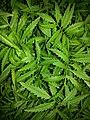 Polypodiopsida Fern 01.jpg