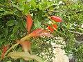 Pomegranate flower 02.jpg