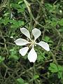 Poncirus trifoliata04.jpg