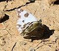 Pontia daplidice (Bath White) - Flickr - S. Rae.jpg