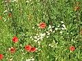Poppy near EF50 - panoramio (4).jpg