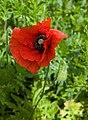 Poppy near Leven Canal - geograph.org.uk - 1352052.jpg