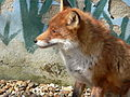 Posing Fox.jpg