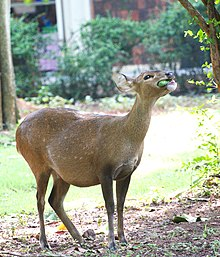 Pregnant Hog Deer was eating fruit in zoo..jpg