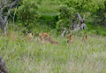 Pride of Lions (Panthera leo) with cubs (11549279115).jpg