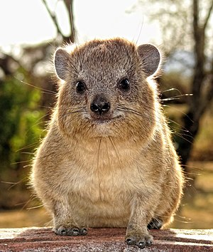 Rock hyrax - Frontal view of rock hyrax