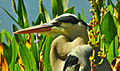 Profile of the Head of a Great Blue Heron.jpg