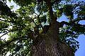 Prottes, Stieleiche, Naturdenkmal GF-042(4).jpg