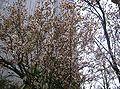 Prunus cerasifera var atropurpurea1.jpg