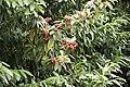 Prunus laurocerasus - Taflan, Giresun 2017-07-05 02-2.jpg