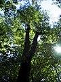 Prunus serotina 4zz.jpg