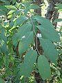 Prunus serrula 845.JPG