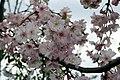 Prunus subhirtella Autumnalis 15zz.jpg
