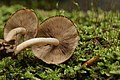 Psathyrella piluliformis (44285355755).jpg