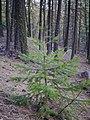 Pseudotsuga menziesii young tree.jpg
