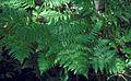 Pteridium aquilinum subsp pubescens 0807085.jpg