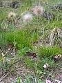 Pulsatilla montana postfloral growth.JPG