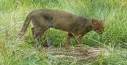 Puma yaguarondi2.jpg