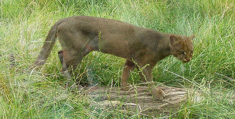 File:Puma yaguarondi2.jpg
