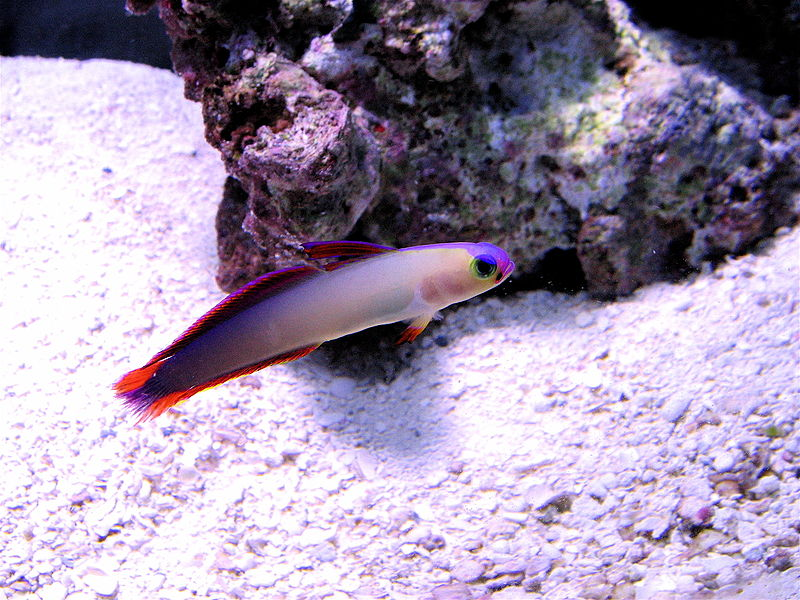 File:Purple Firefish.jpg