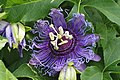Purple Frills (4958545780).jpg