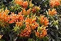 Pyrostegia venusta flowers.jpg