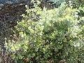 Quercus ilex.501 - Monfrague.jpg