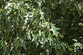 Quercus pagoda (24039097862).jpg