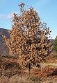 Quercus pyrenaica 20131229.jpg