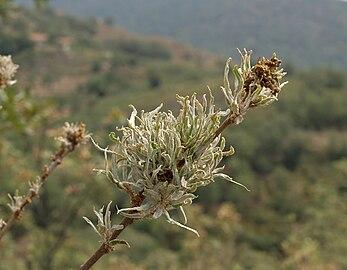 Quercus pyrenaica patológico 20090813 3.jpg