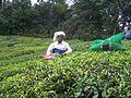 Récolte du thé.JPG