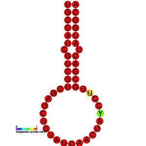 Equine arteritis virus leader TRS hairpin (LTH) - Image: RF00498