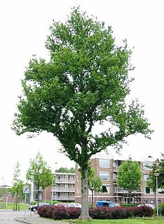 <i>Ulmus</i> × <i>hollandica</i> Dampieri
