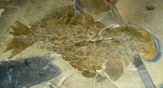 Image of the first complete Anomalocaris fossil found, residing in the Royal Ontario Museum
