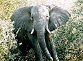 RSA Elephant.jpg