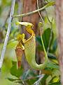 Raffles' Pitcher Plant (Nepenthes rafflesiana) (15771859071).jpg