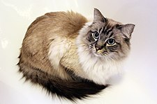 A Seal Lynx Pointed Ragdoll, About Three Years Old.