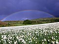 Rainbow and white narcissus field near Shishtavec village.jpg
