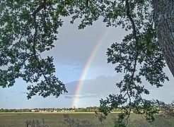 Rainbow framed by an oak tree in Vibble, Gotland.jpg