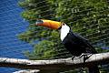 Ramphastos toco -Gramado Zoo-8a.jpg