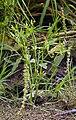 Ranunculus sceleratus LC0079.jpg